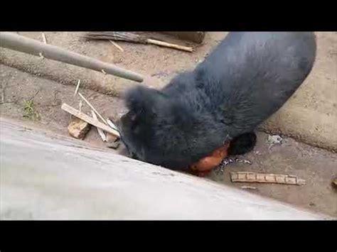 Beruang Thailan orang di makan beruang di thailand sadis ngeri