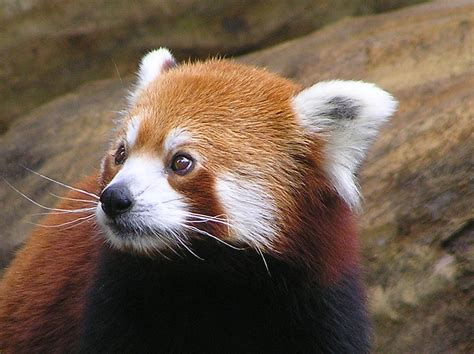 Pictures Of Panda Red Animal Photos Images Animals