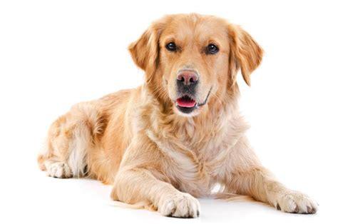 golden retriever gift ideas golden retriever gifts accessories up to 50 top pet gifts