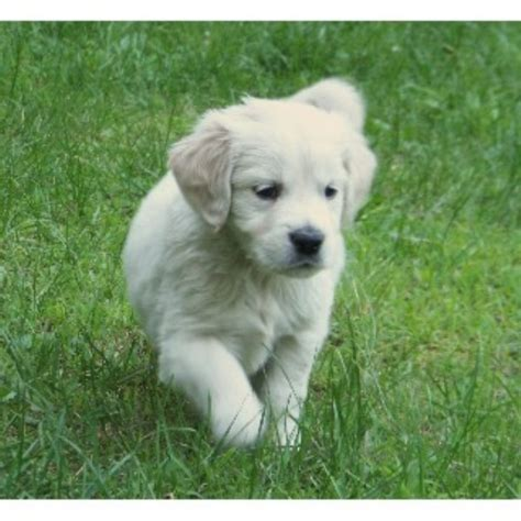 golden retriever breeders maine golden retriever breeders in new hshire freedoglistings