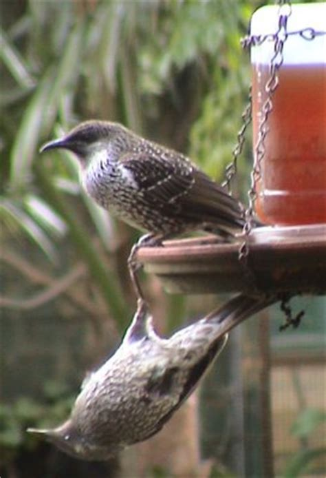 backyard birds australia australian birds backyard birds