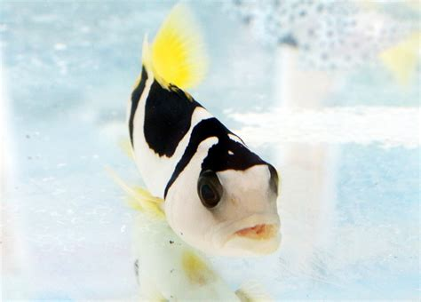 Bibit Ikan Kerapu Tikus kerapu raja sunu kecil hias besar konsumsi bebeja