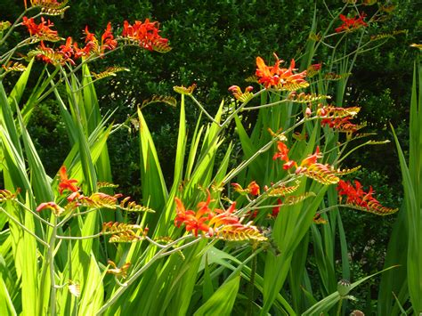 file crocosmia lucifer jpg wikimedia commons