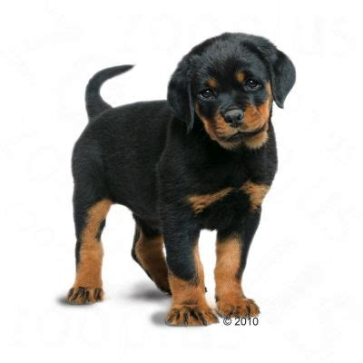 royal canin rottweiler puppy food royal canin rottweiler junior great deals at zooplus