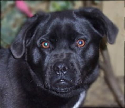 black lab and pug mix adopted dogs new