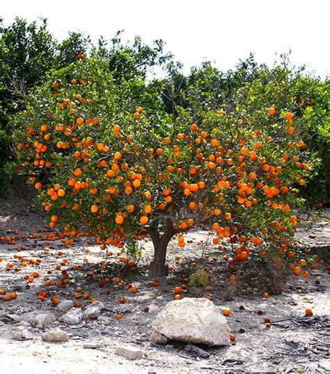 fruit trees in spain 577 best images about on search lima