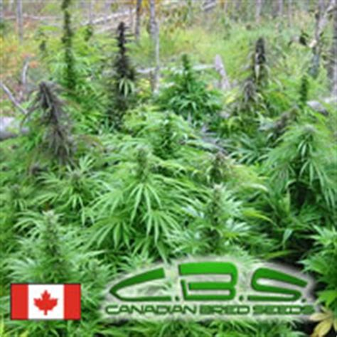 lade per mariuana poison mighty mite canadian bred seeds seedfinder