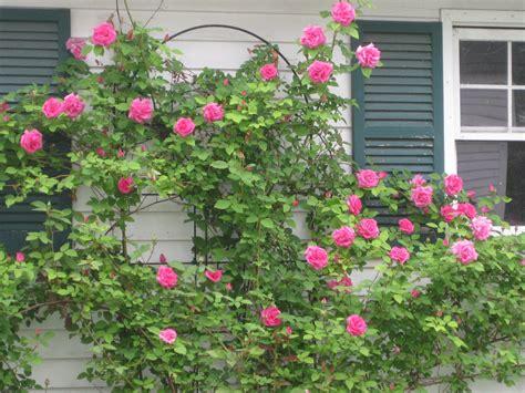 fragrant shade plants rosa zephirine droughin fragrant shade tolerant