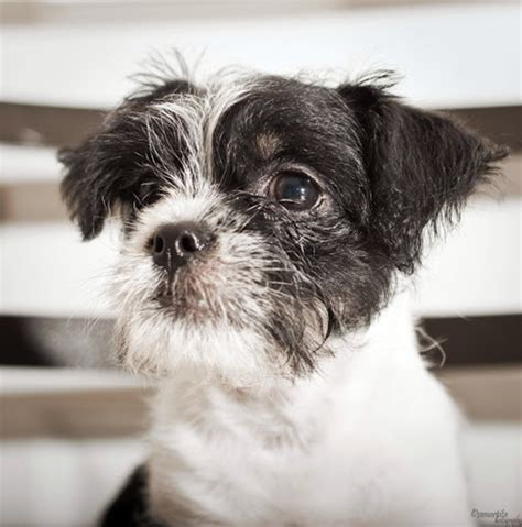 shih tzu and terrier mix huey shih tzu humane society of dallas county