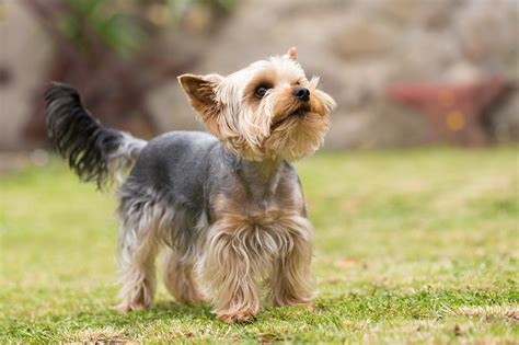 yorkie hind leg problems terrier breed information characteristics heath problems dogzone