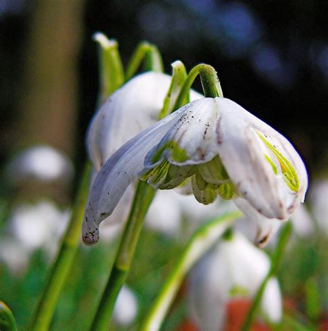 snowdrop flower pictures meanings snowdrop flowers