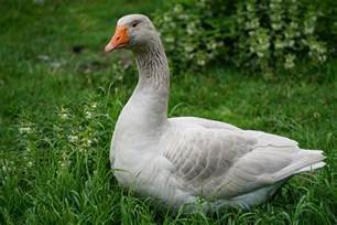 most goose bird images animals and birds