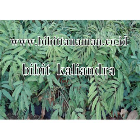 Bibit Kaliandra jual bibit tanaman unggul murah di purworejo