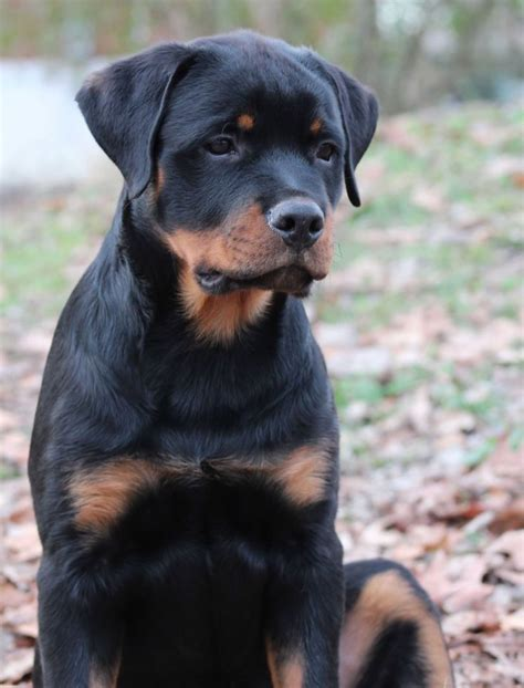 german rottweiler 149 best puppies images on