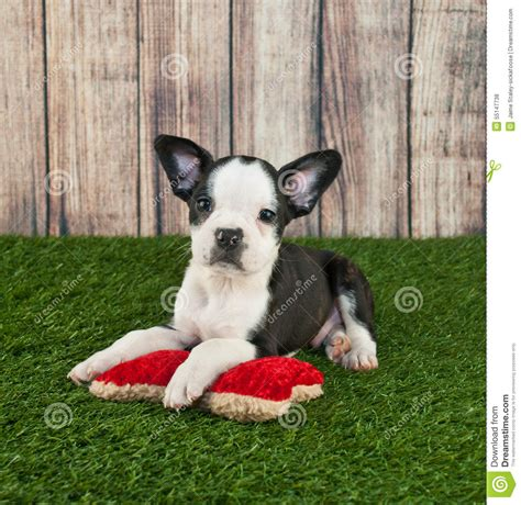 frenchton puppies price frenchton puppy stock photo image of adorable wood 55147738