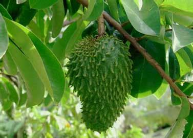 imagenes de flores que dan frutos čudotvorna biljka graviola leči rak čajevi