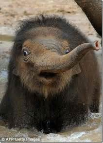 funny baby elephant pictures funny animal