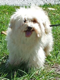 havanese for adoption in arkansas in fl senior advantage available for adoption april 2014 from havanese