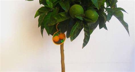 potatura arancio in vaso potatura arancio agrumi come potare l arancio