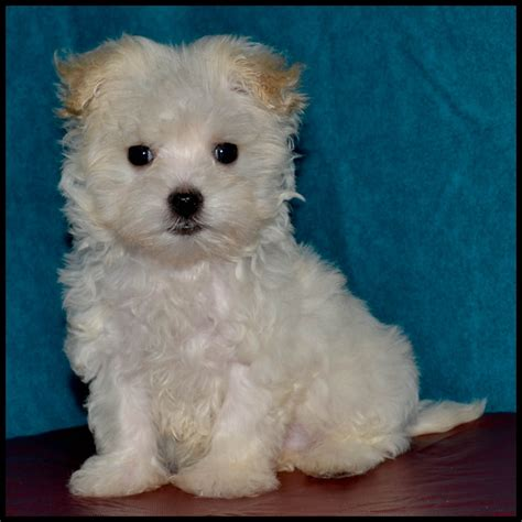 maltipoo puppies for sale in maltipoo puppies for sale in mississippi maltipoo breeders breeds picture