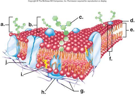 plasma membrane facts information pictures