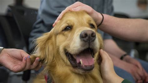 dogs that help with anxiety how service dogs help treat depression anxiety rover