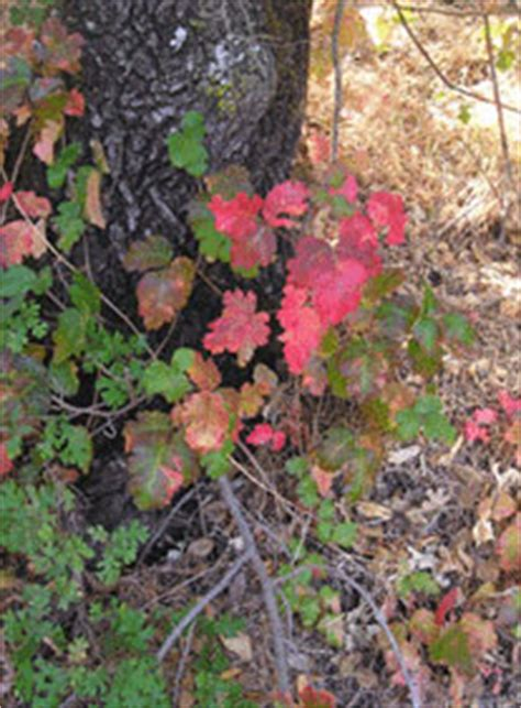 can dogs get poison oak leaves of three