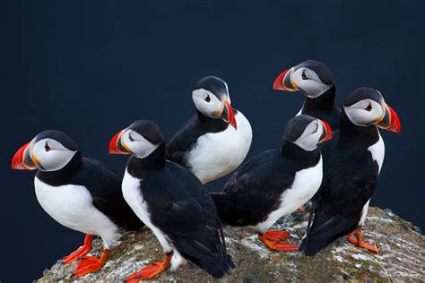 Evanescent Light : Puffins and penguins