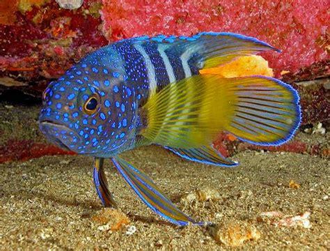 Blue Polka Piring Makan Hias 10 jenis ikan hias air laut yang cantik dan unik manandshark