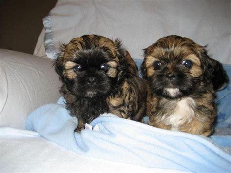 brown shih tzu dogs puppy dogs brown shih tzu puppies