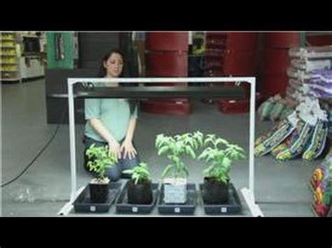 tomatoes  indoor vegetable gardens easy ways  grow