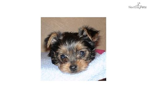 teacup yorkies for sale in kansas city terrier yorkie for sale for 500 near kansas city missouri db6d1c09 5a91