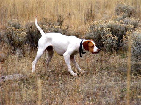 what are bird dogs dogs pictures to pin on pinsdaddy