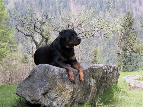 rottweiler net rottweiler hd wallpapers
