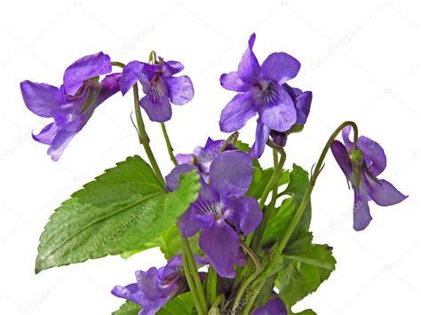 foto di fiori viole fiori di violette dolce foto stock 169 manka 7805217