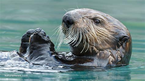 offshore fracking  southern california threatens dozens  endangered marine animals including