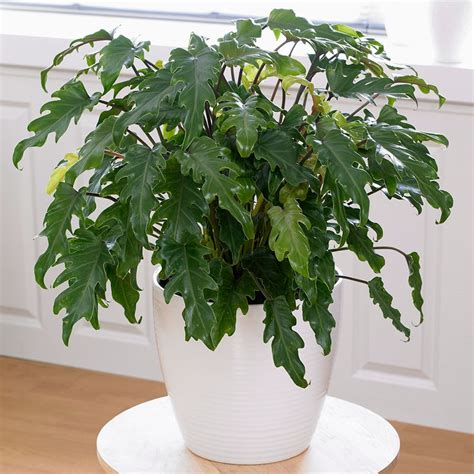 Tanaman Gantung Green Happy buy philodendron philodendron xanadu 163 29 99 delivery by