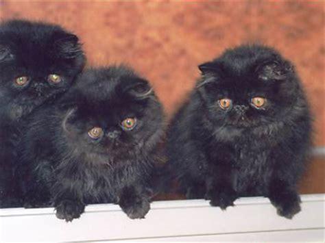 costo gatti persiani consigli per scegliere un cucciolo gattipersiani it