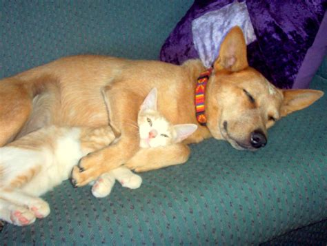 puppy and kitten cuddling 40 dogs and cats who just to cuddle