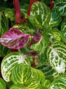 iresine herbstii aureoreticulata blood leaf beefsteak