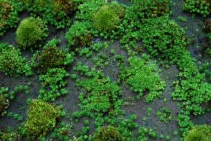 understanding the growth rate of pleurocarps versus acrocarps moss and stone gardens