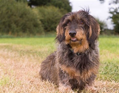 the 25 best ideas about standard dachshund on