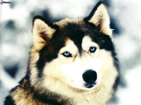 husky wallpaper blue eyes siberian husky