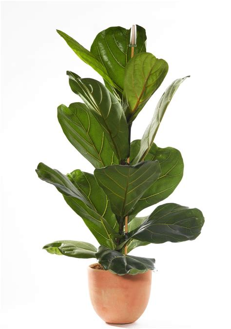 indor plants 17 best ideas about ficus tree on pinterest indoor tree