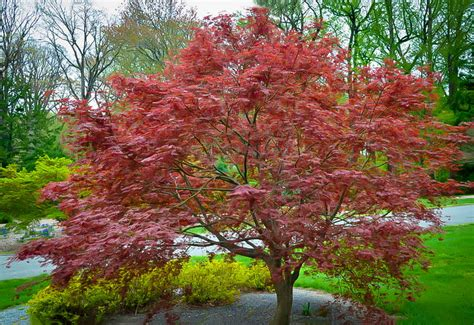 sherwood flame japanese maple the tree center