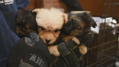 puppy mills in ga hundreds of animals found in deplorable conditions at puppy mill pet