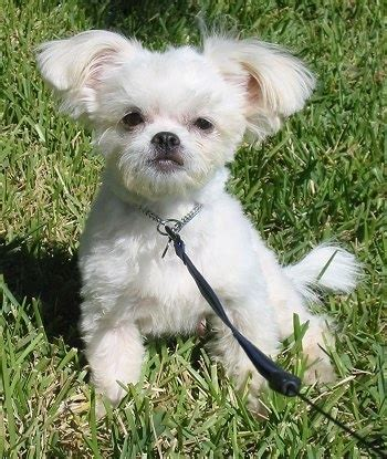 chi shih tzu shichi breed pictures 1