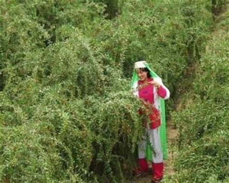 goji coltivazione in vaso goji coltivazione rimedi naturali coltivazione goji