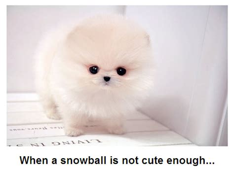 snowball puppy snowball puppy extremely adorable picture talk