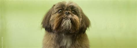 history of the shih tzu dynasty dogs the royal history of the shih tzu pedigree 174